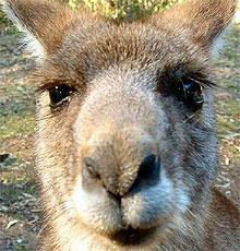 kenguru pofa