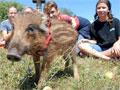 Fifi, a sérült vadmalac