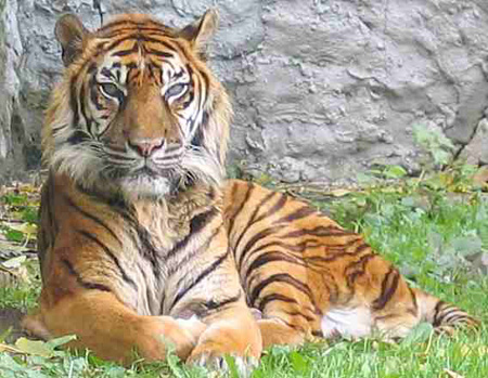 http://img.index.hu/cikkepek/0803//tech//Tiger_sumatran.jpg