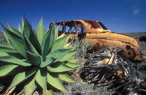 Rozsdás autó agavével. Fotó: Jim Cline