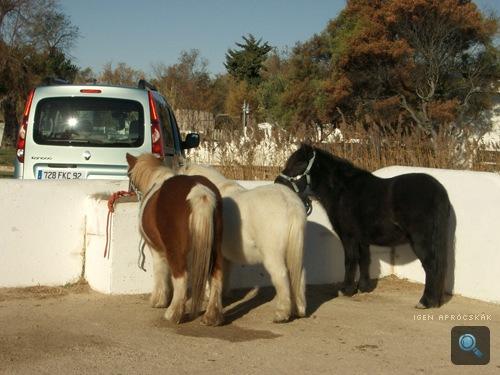 Camargue-i lovak egy Renault Kangoo mögött
