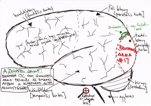 A Brodmann 17C- vagy Scaglietti-area az emberi agyban
