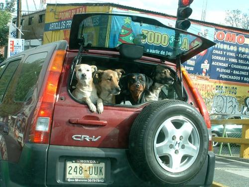 Honda CR-V-ből kilógó kutyák