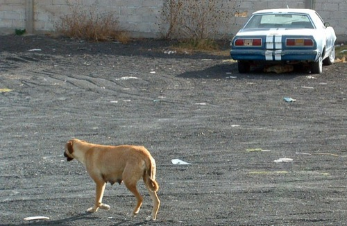 Kutya egy öreg Ford Mustang előtt