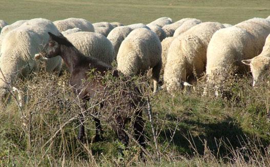 A kecske szemmel láthatóan teljesen másra gerjed, mint a bárányok