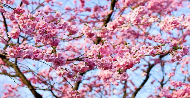 cseresznyevirág lövellt