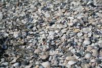 Ilyen sok kagyló szerte széjjel