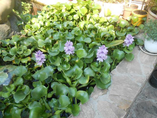 66a5be436c Nekem is tetszik... Megnéztem, tavaly csak szeptemberben virágzott a jácint