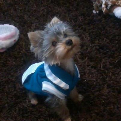 Extra mini yorkshire terrier olcson