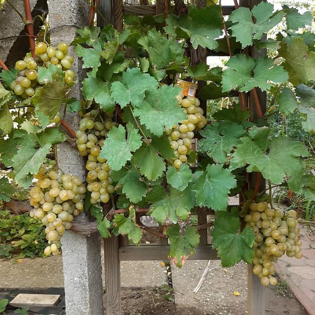 Grapevine társkereső oldal
