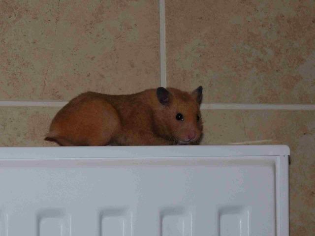 PETS Hamster AGERPRES • Frissítse a világot