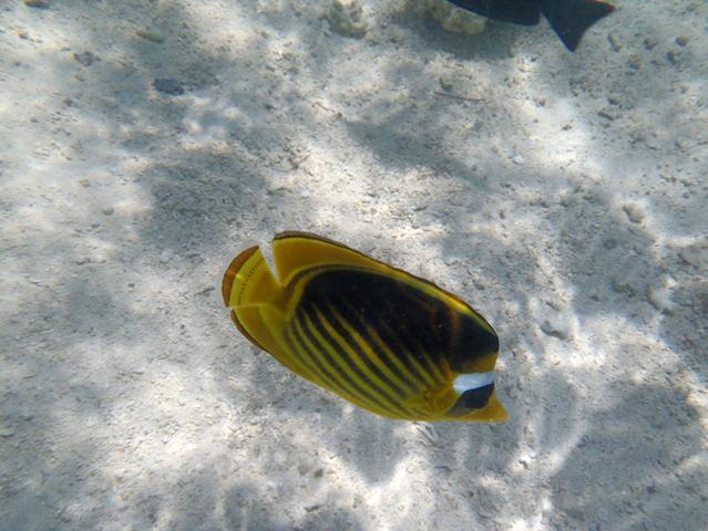 Randi vízforraló hal