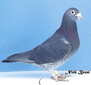 machiel buijk pigeons