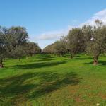 Olivák