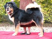 Himalaya tibetan mastiffs