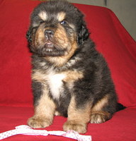 Himaléaya tibetna mastiffs puppy