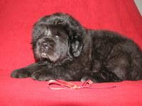 Himalaya tibetan mastiffs puppy2