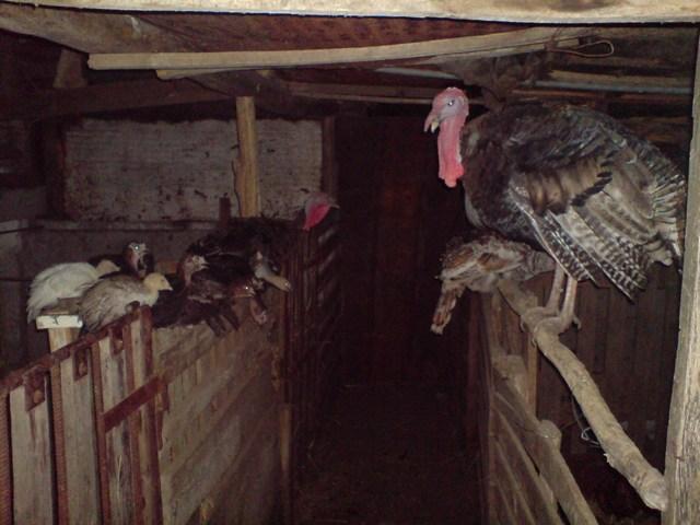 öklendezés a nagy fekete kakas Sri Lanka nagy punci