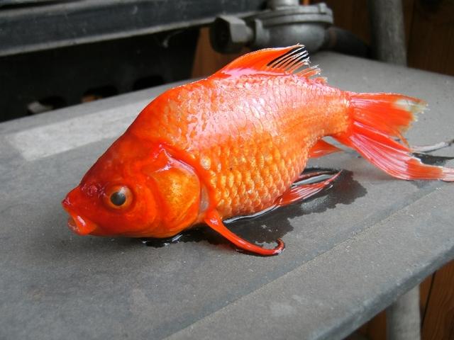 hogyan kezeljük az aranyhal vörös foltjait