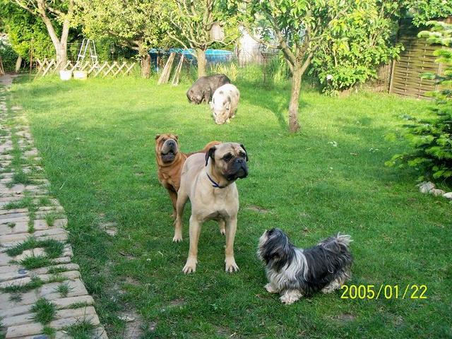 HUNGAROPET GAZDI-TUDÁSBÁZIS: Állatorvosoktól-Állattartóknak. » Blog Archive » Shar Pei láz