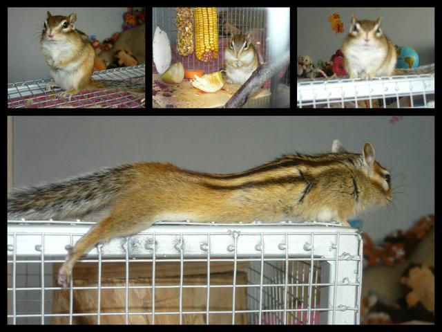 Csíkos hátú mókus (burunduk) - Index Fórum fa97b77184