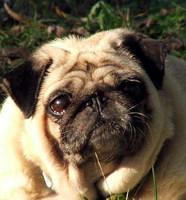 Miért büdös a kutyám? 11 lehetséges ok és megoldása!
