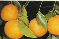 citrusfélék