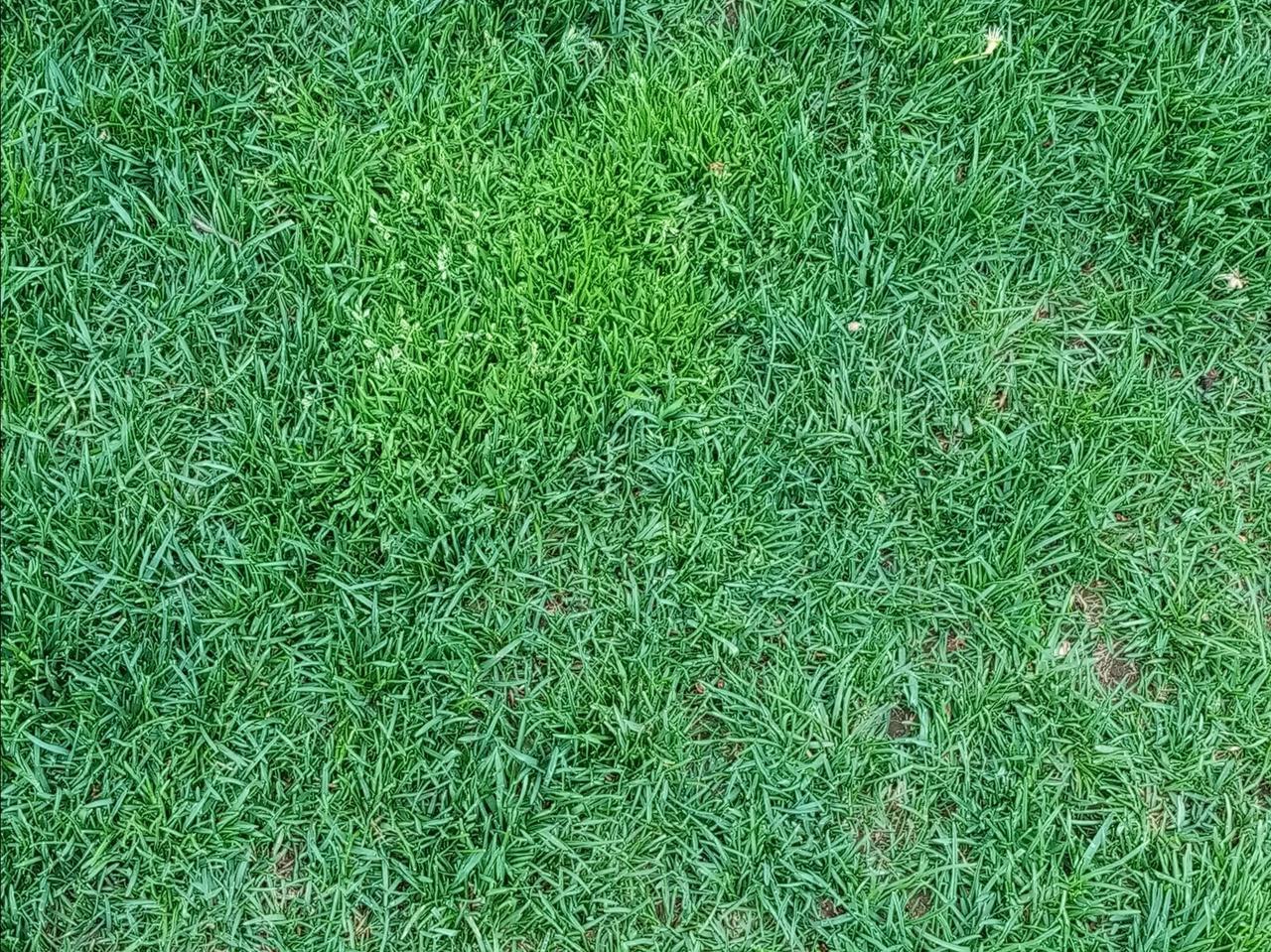 helminthosporium levél foltos gyep